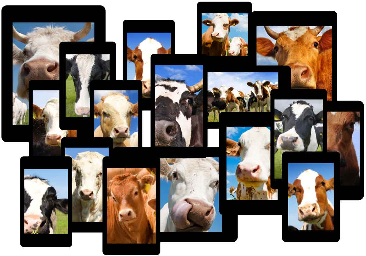 Cows on screens
