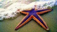 royal-seastar