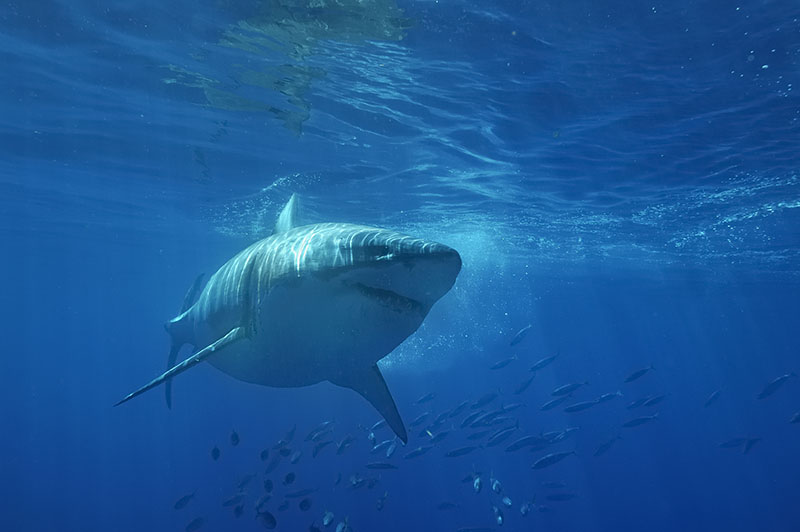 Great White Shark,Carcharodon carcharias